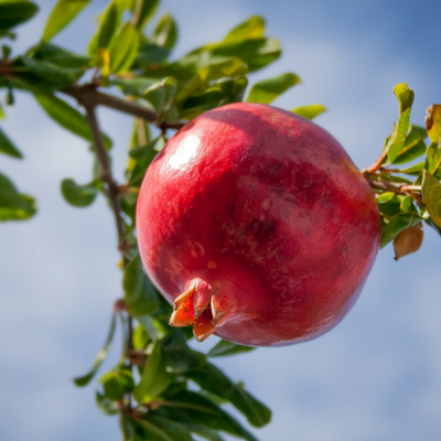 pomegranate hanging in tree